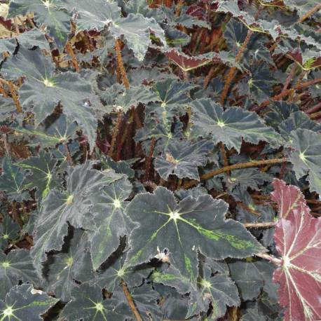 Begonia 'Beatrice Haddrell'