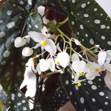 """Begonia 'Wightii' (Begonia maculata """"Variegata"""")"""