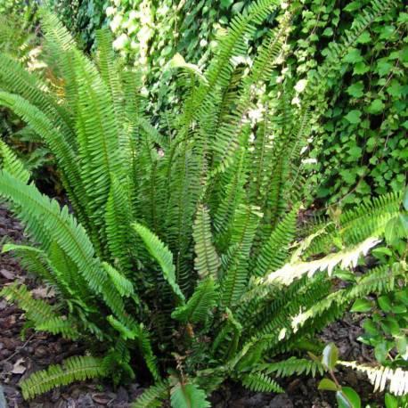 Nephrolepis cordifolia (Boston fern)