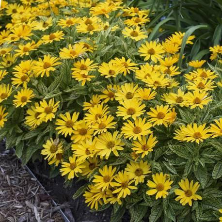 Heliopsis helianthoides 'Sunstruck'