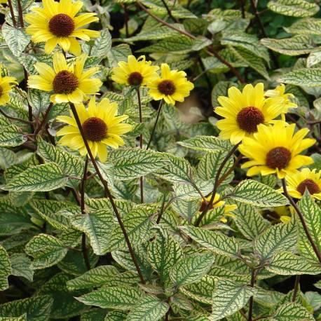Heliopsis heliantoides 'Summer Green'