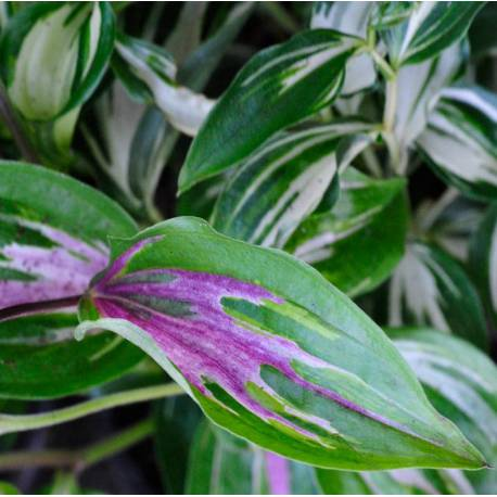 Disporum cantoniense 'Moonlight'