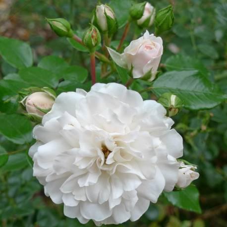Rosa 'Seafoam'
