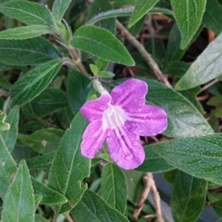 Ruellia dipteracanthus