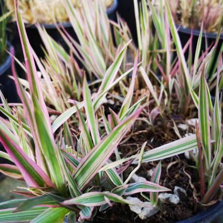 Phalaris arundinacea 'Picta Feesey'