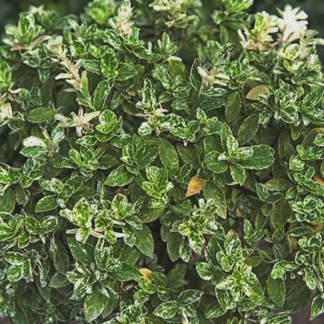 Euonymus fortunei 'Arlequin'