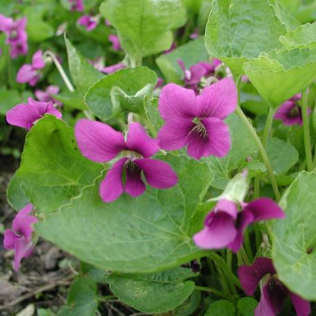 Viola sororia 'Rubra'