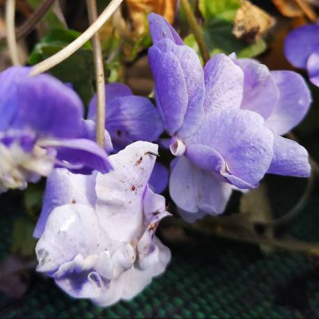 Viola odorata 'Double de Bruneau'