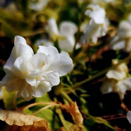 Viola odorata 'Comte De Brazza'