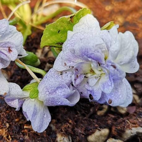 Viola odorata 'Neapolitan'