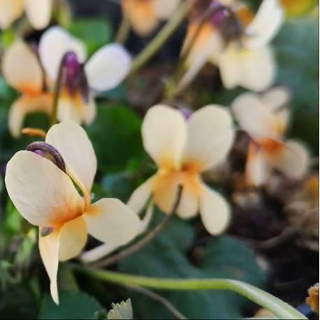Viola odorata 'Sulphurea'