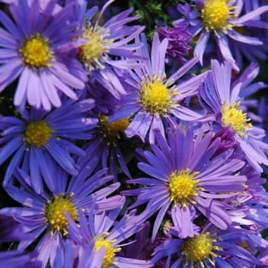 Aster dumosus 'Lady in Blue'