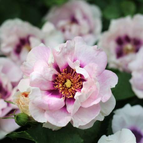"""Rosa persica """"Eyes For You"""""""