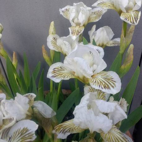 Iris pumila 'Snow Tree'