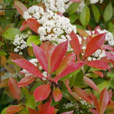 "Photinia x fraseri ""Red Robin"""