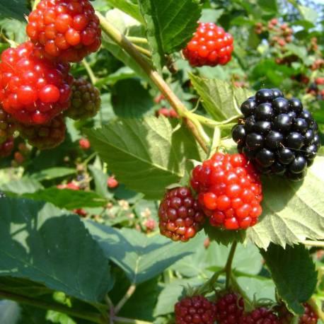 Rubus fruticosus 'Chester Thornless' (inermis)