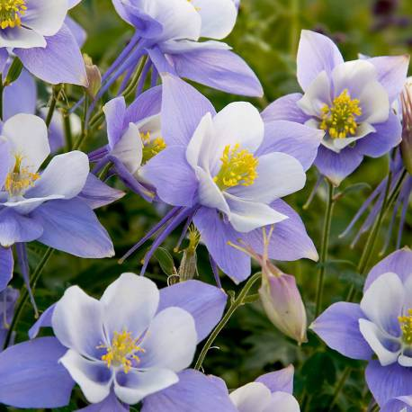 Aquilegia caerulea 'Heavenly Blue'
