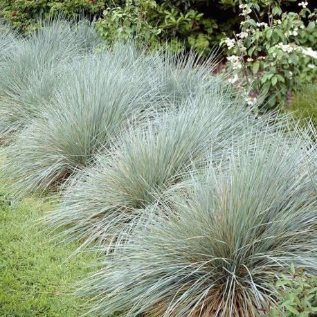 "Helictotrichon sempervirens ""Sapphire"""