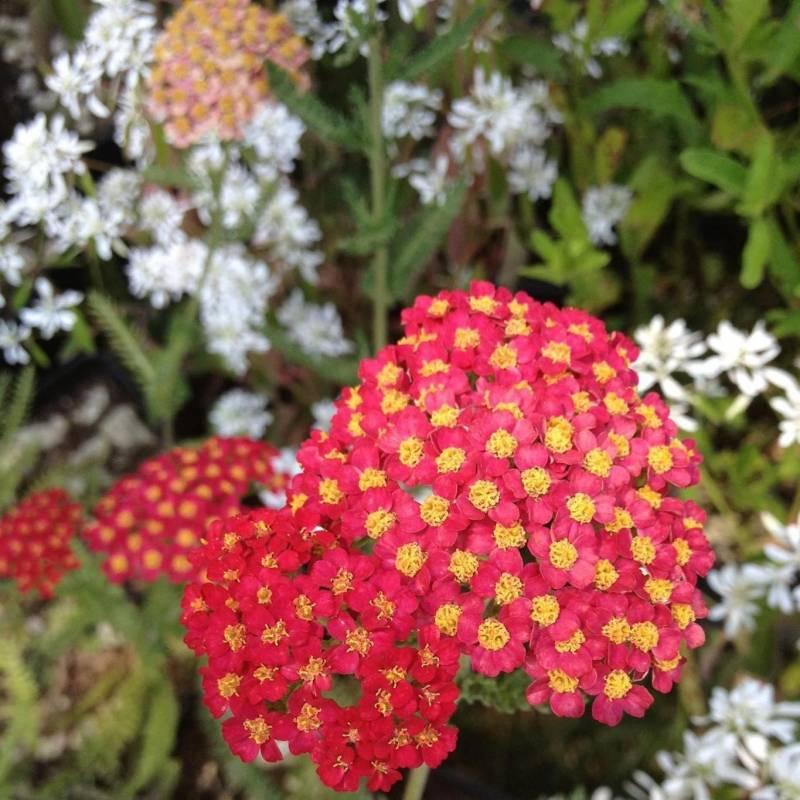 Achillea millefolium 39 paprika 39 for Piante fiorite perenni da esterno