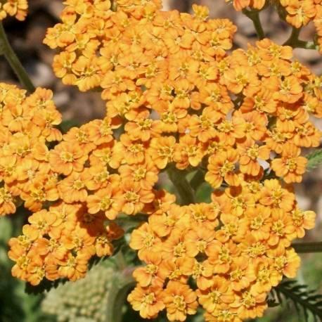 Achillea millefolium 'Terracotta'
