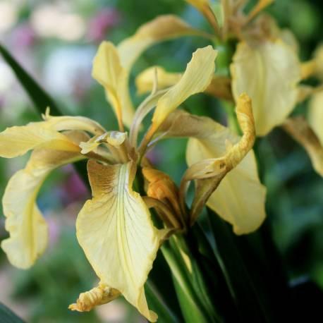 Iris foetidissima 'Citrina'