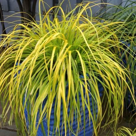 """Carex oshimensis 'Everillo' (sin. """"Evercolor"""")"""