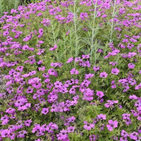 Geranium x psilostemon 'Patricia'