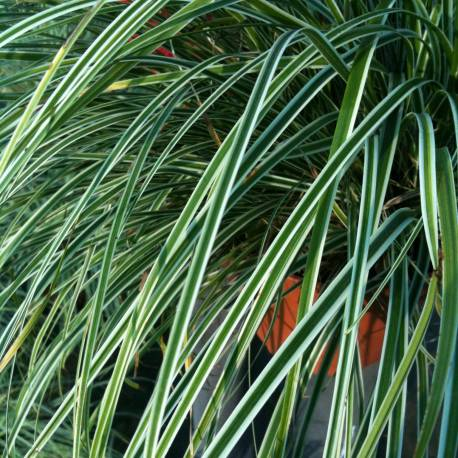 Carex oshimensis 'Variegata'