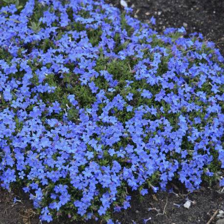 "Lithodora diffusa ""Grace Ward"""