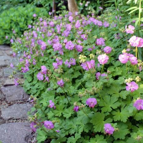 Geranium x cantabrigiense 'Karmina