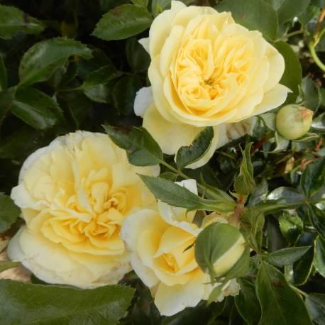 Rosa 'Solero'