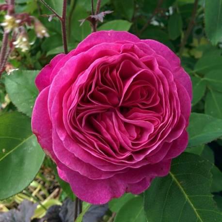Rosa 'Heidi Klum'
