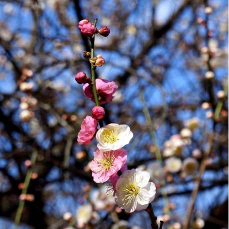 Prunus mume 'Omoi-no-mama' (Bicolor)