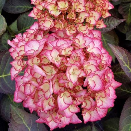 Hydrangea macrophylla 'Adula Rose'