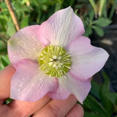 Helleborus 'Pretty Ellen Pink Spotted