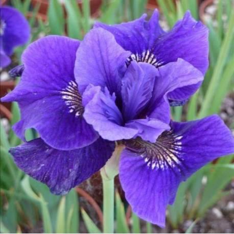 Iris sibirica 'Regency Belle'