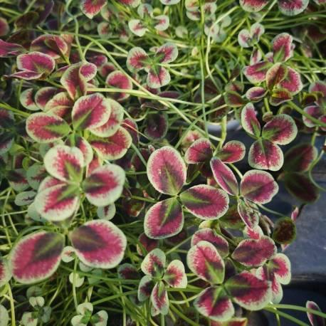 Trifolium repens 'Estelle'