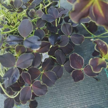 Trifolium repens 'Dark Debbie'
