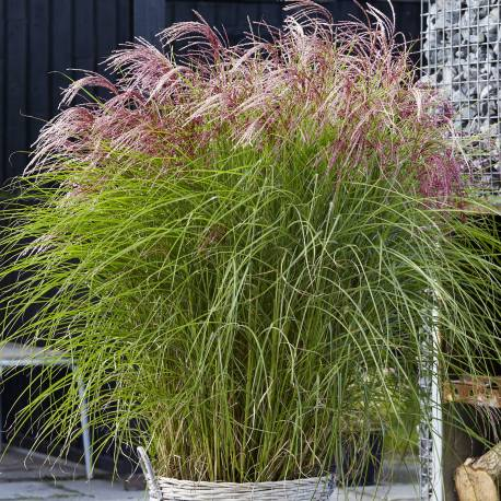 """Miscanthus """"Red Cloud"""""""