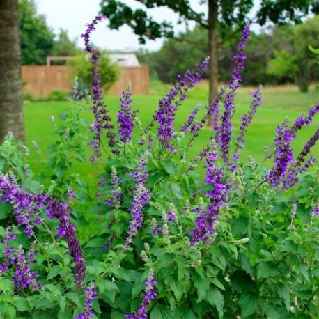 """Salvia farinacea x longispicata """"Mystic Spires Blue"""""""