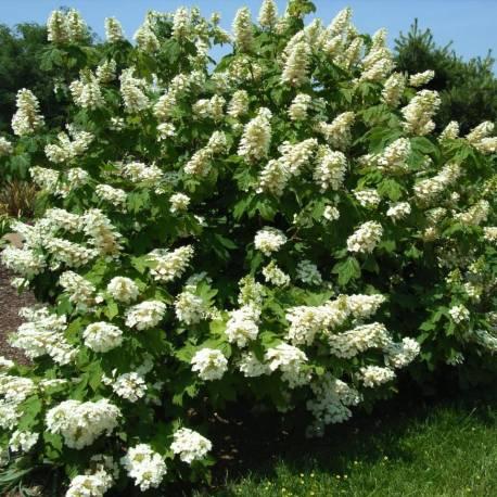 """Hydrangea quercifolia """"Alice"""""""