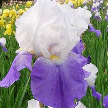 Iris 'Arpege'