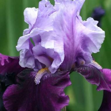 Iris 'Bluebird Wine'