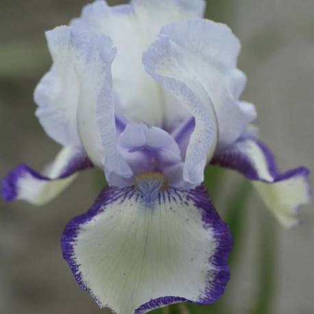 Iris 'Chinkianq'