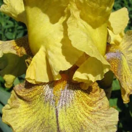 Iris 'Desert Echo'