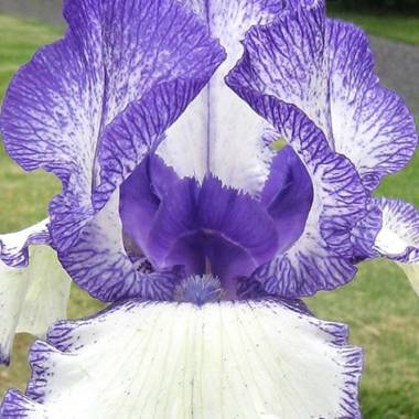 Iris 'Going My Way'