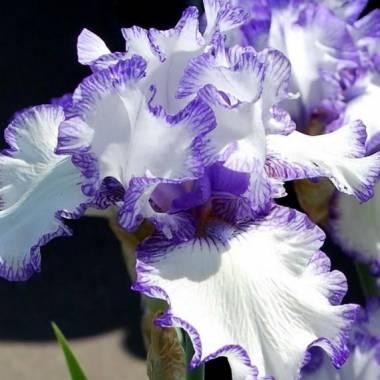 Iris 'Rare Edition'