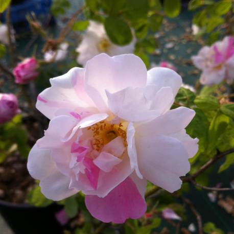 Rosa 'York and Lancaster'
