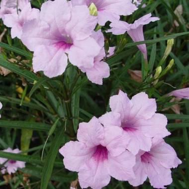 Ruellia brittoniana 'Pink'
