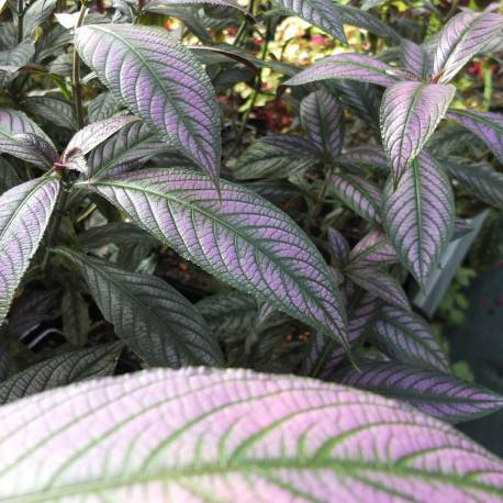 Strobilanthes dyeranus 'Persian Shield'